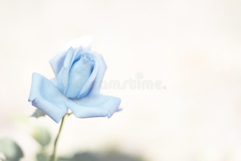 La rosa del blu su fondo vago per progettazione delle carte, le insegne, le nozze, le feste, posto per textBlue è aumentato su fo immagini stock