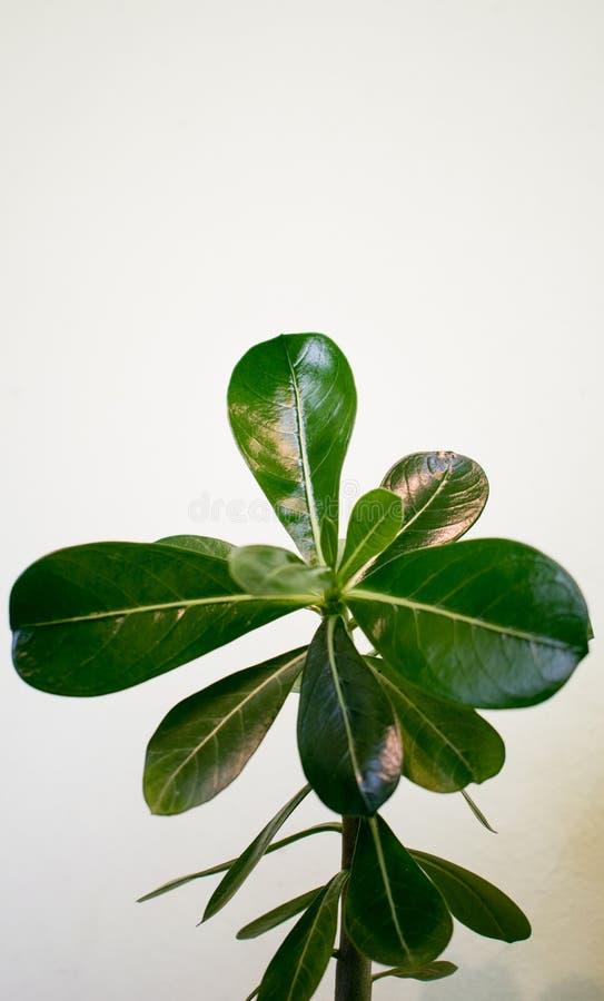 La rosa del deserto Pianta con le foglie verdi, succose e tossiche, su un fondo bianco fotografie stock