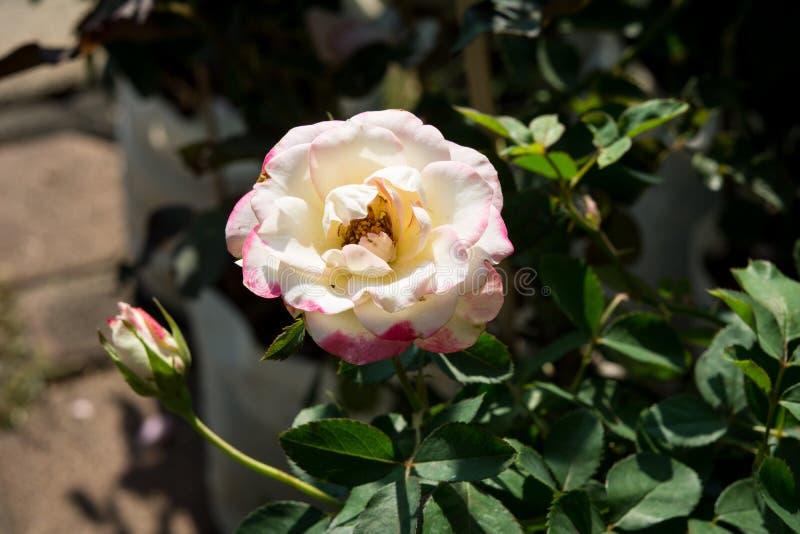 La rosa del rosa del primer florece en el árbol, conceptos dulces del amor, conceptos románticos, imágenes macras fotografía de archivo