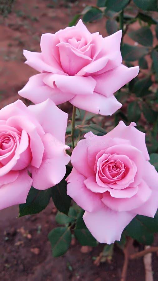La rosa del rosa que es una muy bonita y normal subió Es un krapt a aplicarse fácilmente en cualquier momento que es un bueno foto de archivo libre de regalías