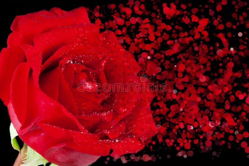 La rosa del rojo con descensos y la desintegración efectúan partículas en fondo, día de San Valentín del día de fiesta y amor neg fotografía de archivo libre de regalías