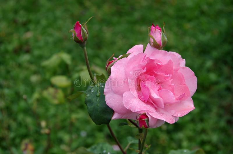La rosa di amore immagini stock libere da diritti