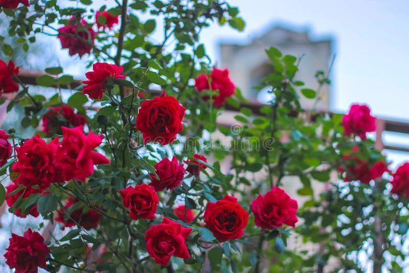 La rosa di rosa fiorisce sul giardino del cespuglio di estate fotografia stock libera da diritti