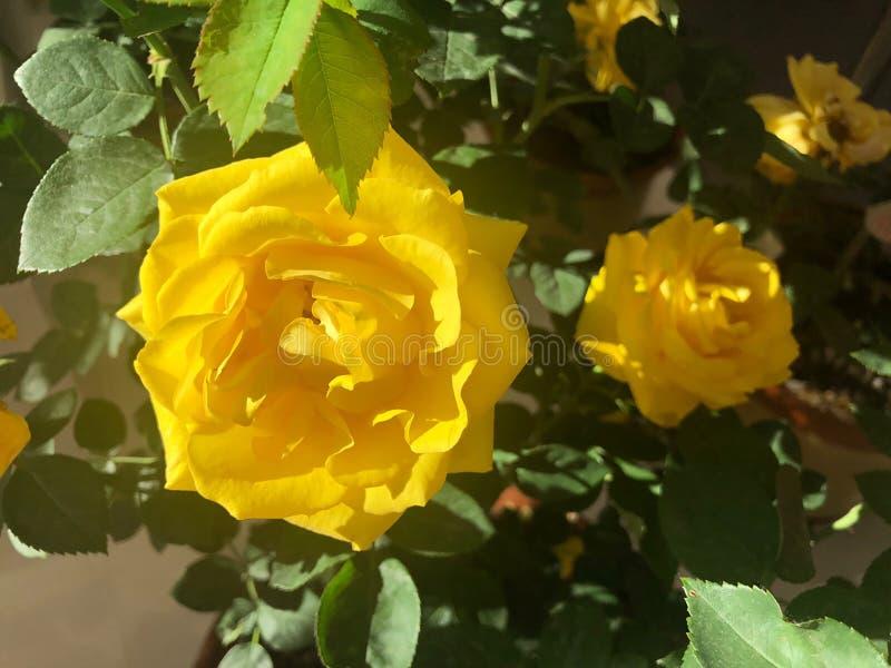 La Rosa gialla dorata nella mostra orticola internazionale Pechino 2019 Cina fotografia stock