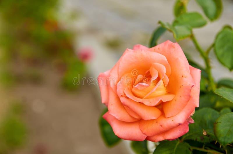 La rosa hermosa de la naranja aisló la floración en fondo borroso de la naturaleza en el cierre del jardín para arriba con el esp fotos de archivo