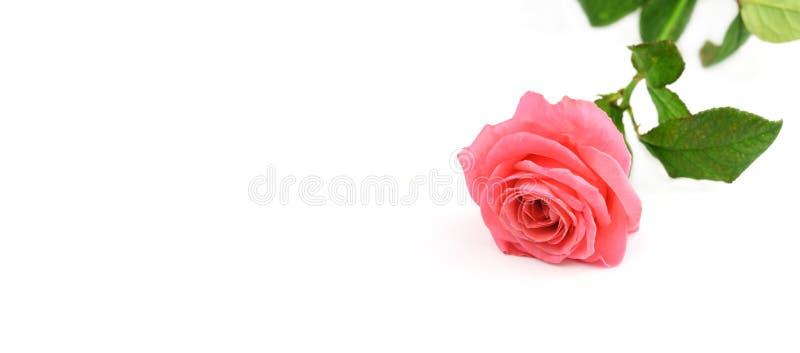 La rosa hermosa subió bandera de la flor en un backgroun blanco aislado imágenes de archivo libres de regalías