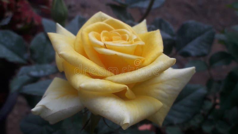 La rosa más hermosa del amarillo fotografía de archivo