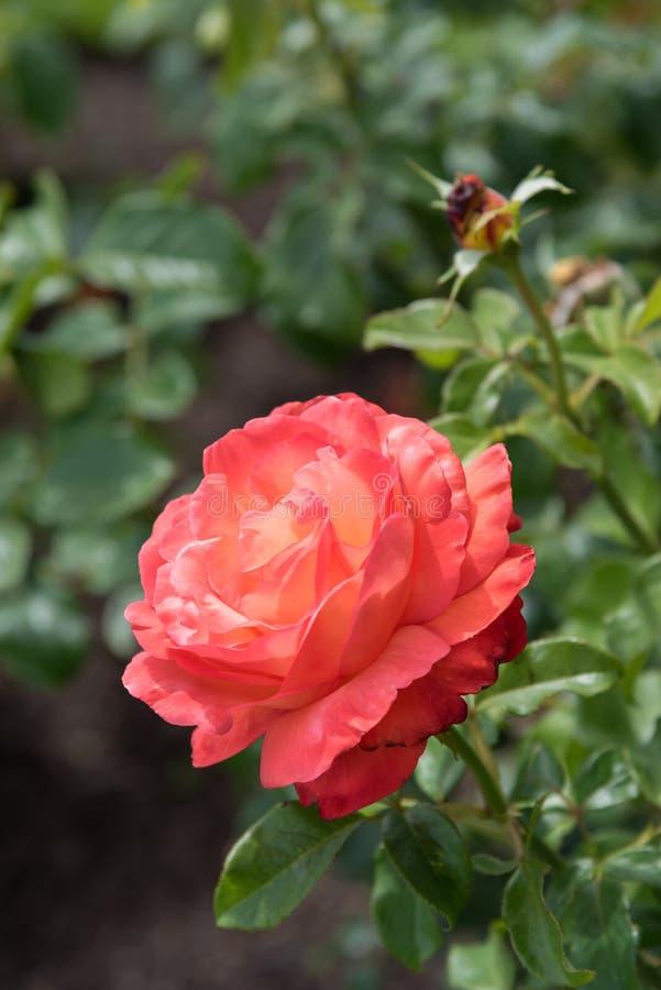 La rosa oscura del rosa del primer con las rayas amarillo claro en los pétalos, rodeados por subió las hojas foto de archivo