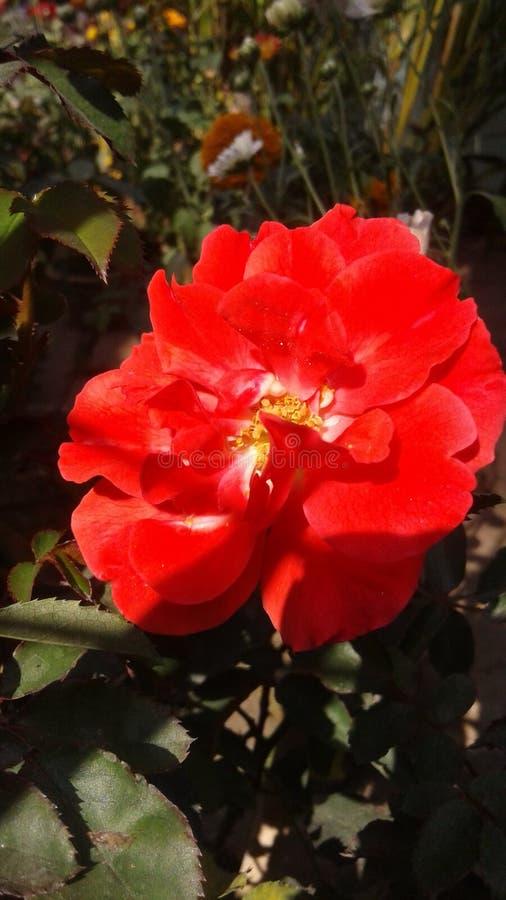 La rosa preciosa del rojo fotos de archivo libres de regalías