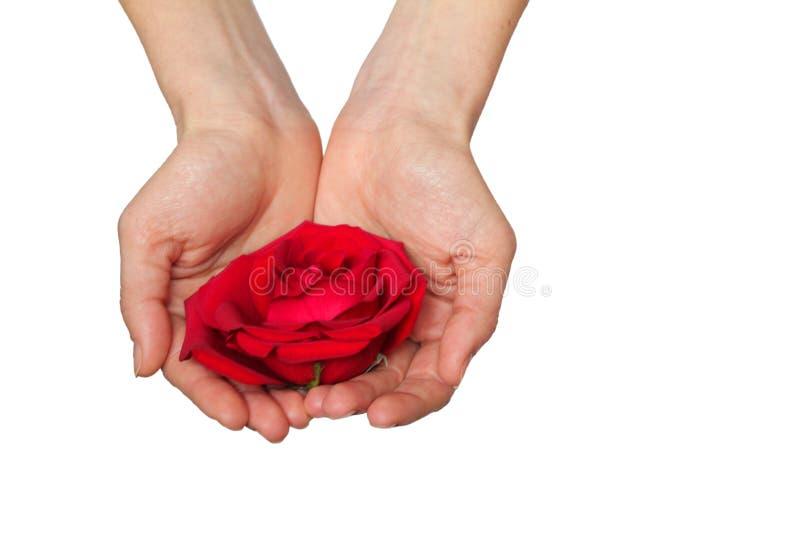 La rosa roja adentro entrega el fondo blanco imagen de archivo libre de regalías