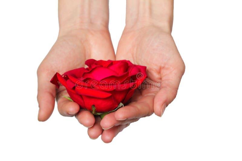 La rosa roja adentro entrega el fondo blanco imagen de archivo