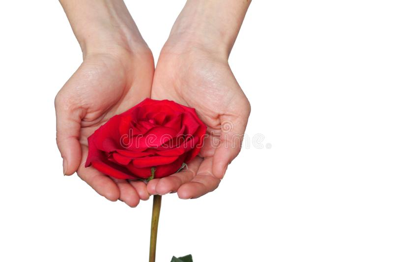 La rosa roja adentro entrega el fondo blanco imagenes de archivo