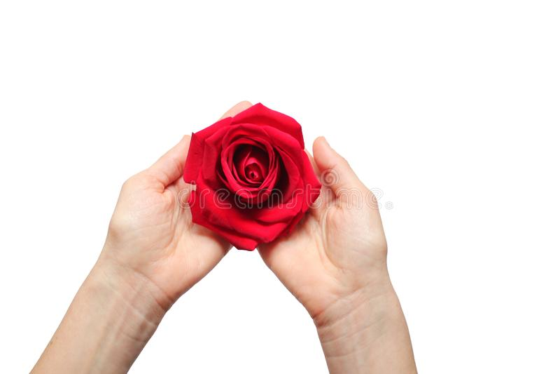 La rosa roja adentro entrega el fondo blanco foto de archivo