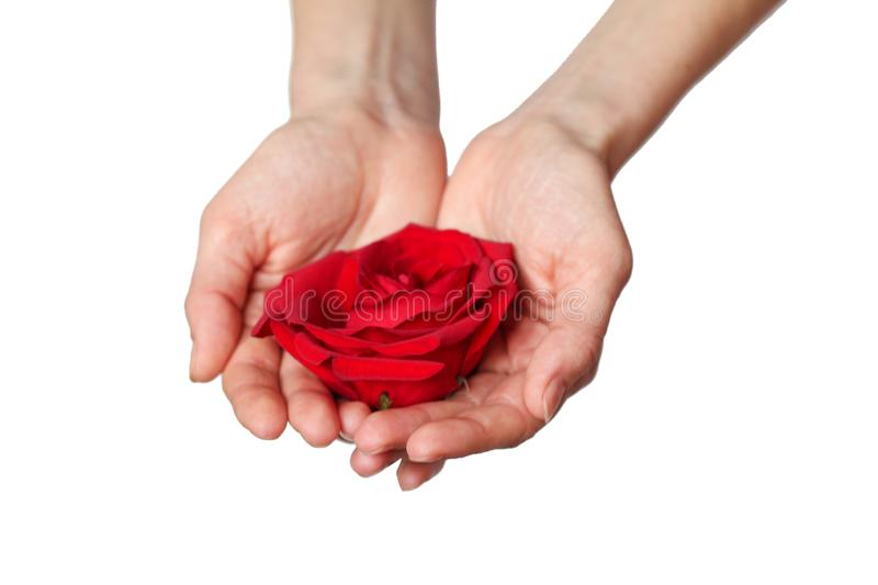 La rosa roja adentro entrega el fondo blanco imágenes de archivo libres de regalías