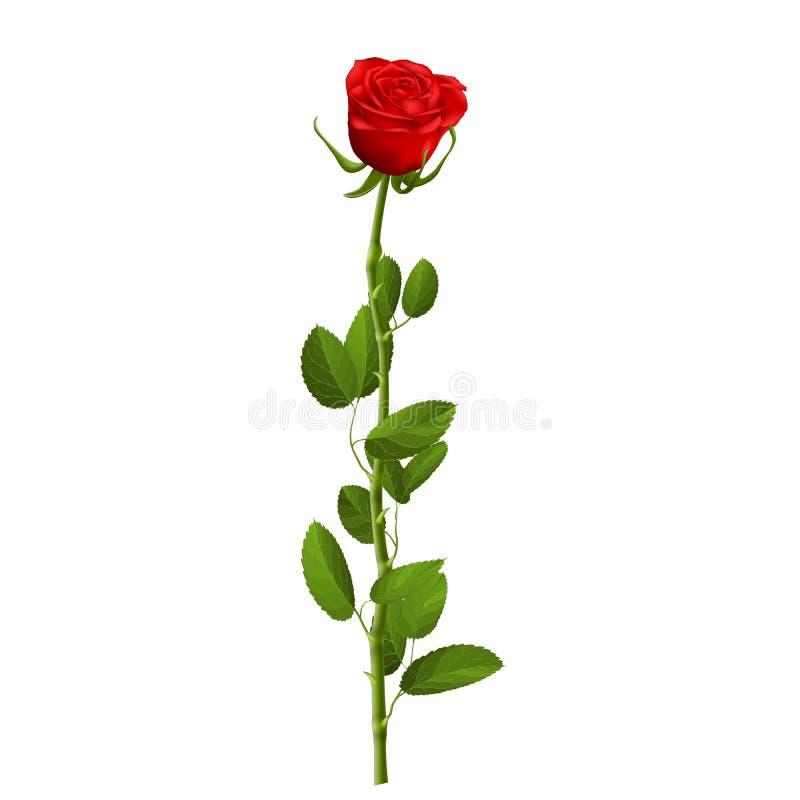 La rosa roja realista con las hojas aisladas en el fondo blanco para adorna las ilustraciones para la invitación de la tarjeta de ilustración del vector