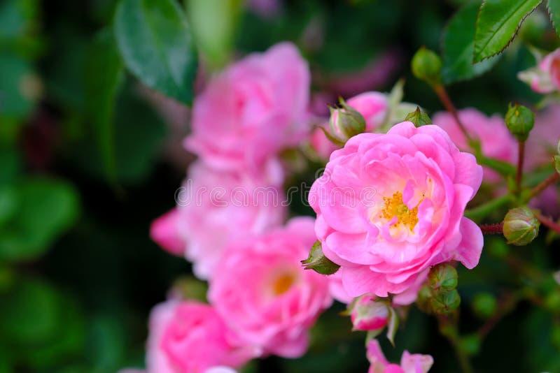 La rosa rosada crece en un primer de la rama fotografía de archivo libre de regalías