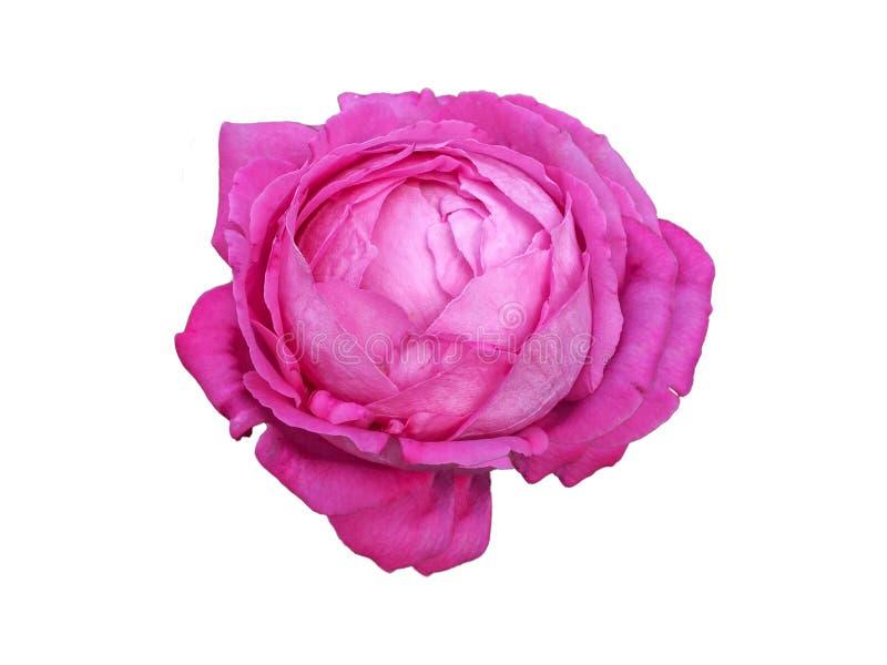 La rosa rosada de la col, jardín viejo subió, Centifolia subió aislado en el fondo blanco imagen de archivo libre de regalías