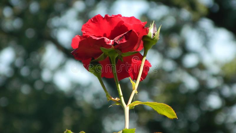 La Rosa rossa fotografia stock libera da diritti