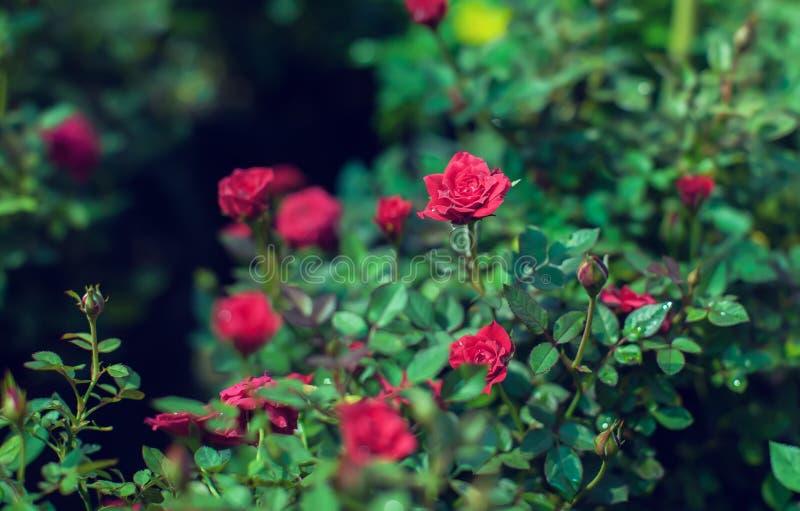 La rosa rossa della miniatura della cascata è cresciuto mini rose rosse fotografie stock libere da diritti