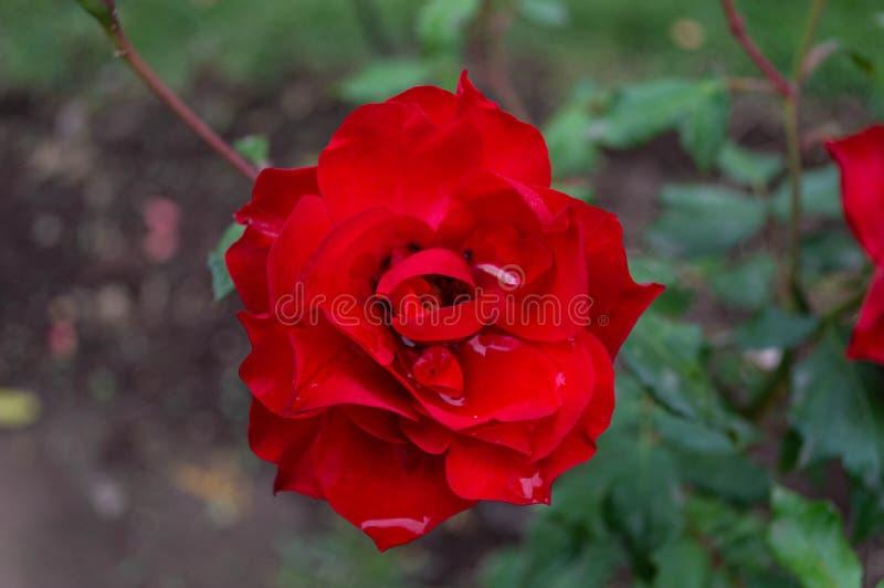 La rosa rossa raccoglie l'acqua piovana fotografie stock