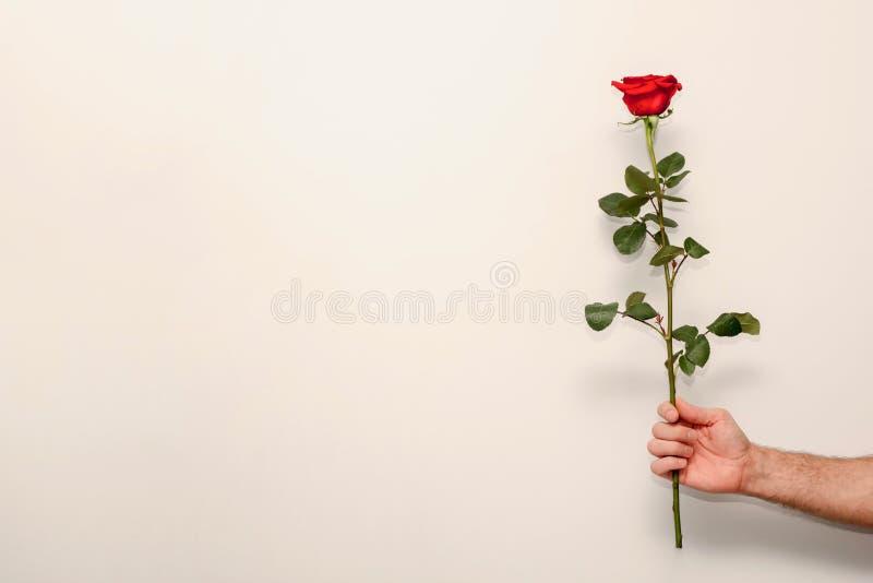 La rosa rossa su un gambo verde in a equipaggia la mano, un regalo per il giorno di biglietti di S. Valentino immagini stock