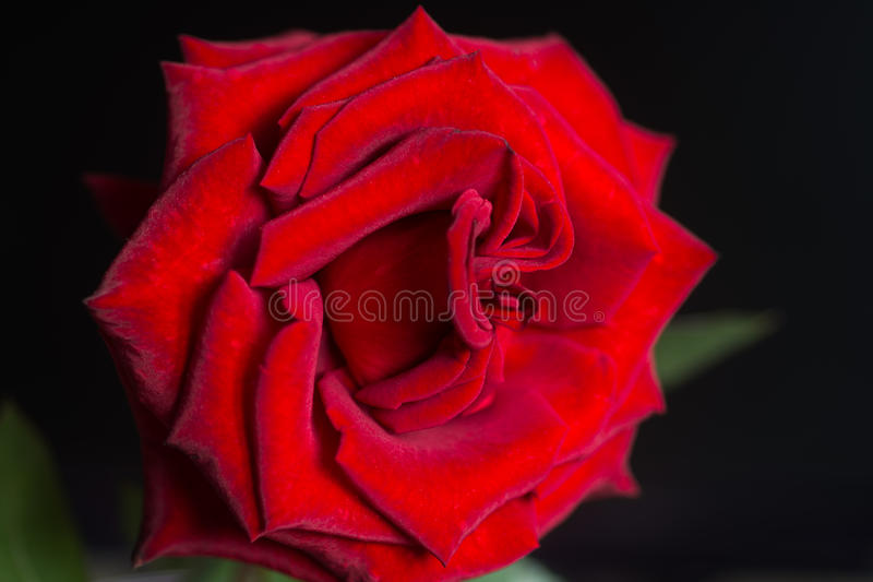 La rosa rosso scuro è sul nero fotografie stock libere da diritti