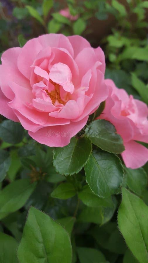 La Rose imagenes de archivo