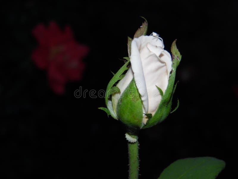 La rose blanche le soir image libre de droits