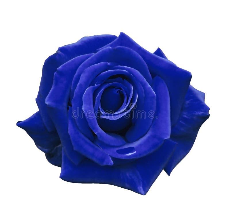 La rose de bleu de velours sur un blanc a isolé le fond avec le chemin de coupure Aucune ombres closeup Pour la conception, textu photographie stock