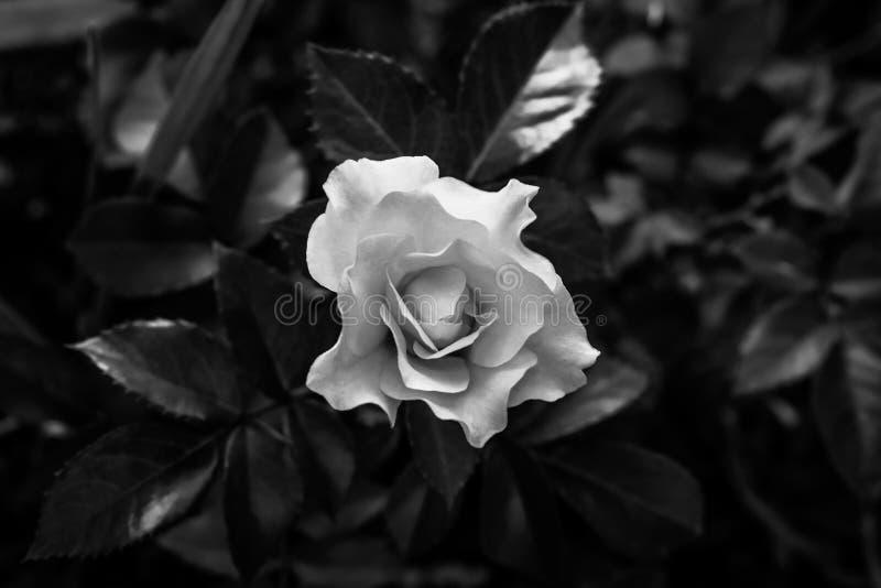 La Rose de plata fotografía de archivo libre de regalías
