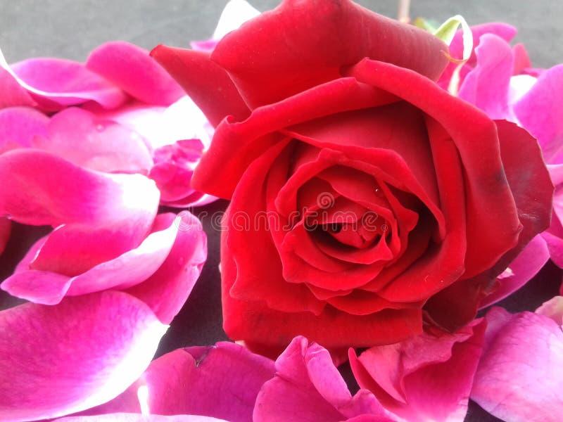 La rose de rouge avec des feuilles et le fond texturisé wallpaper photo stock