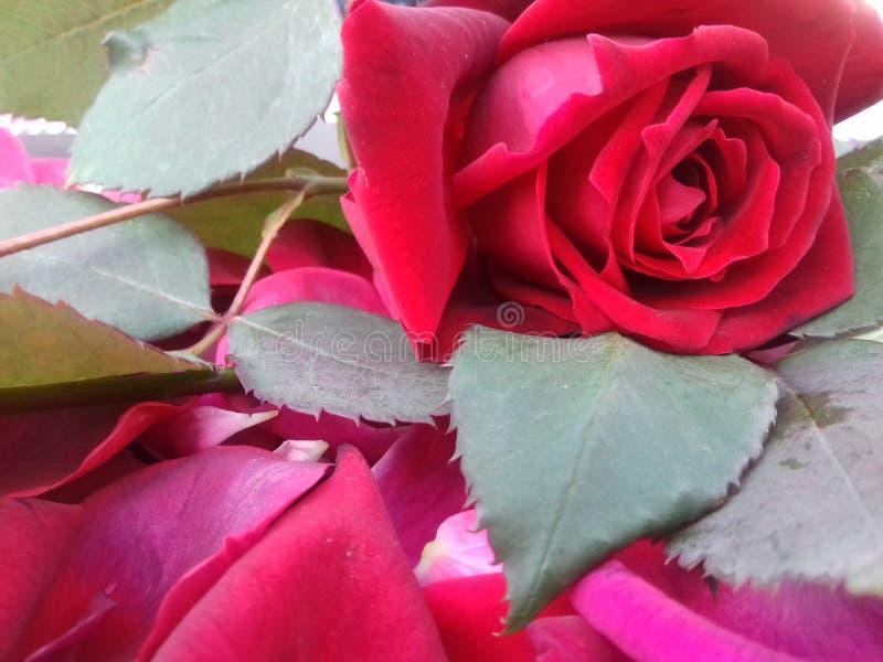 La rose de rouge avec des feuilles et le fond texturisé wallpaper photographie stock libre de droits