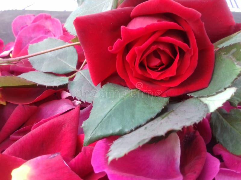 La rose de rouge avec des feuilles et le fond texturisé wallpaper photos libres de droits