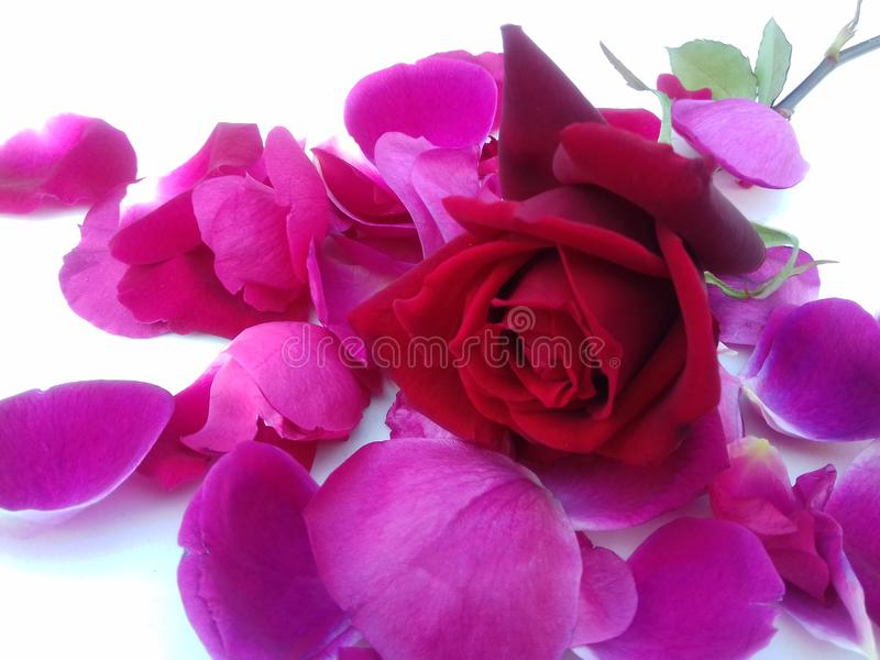 La rose de rouge avec la feuille de fleur et le fond texturisé blanc wallpaper image libre de droits