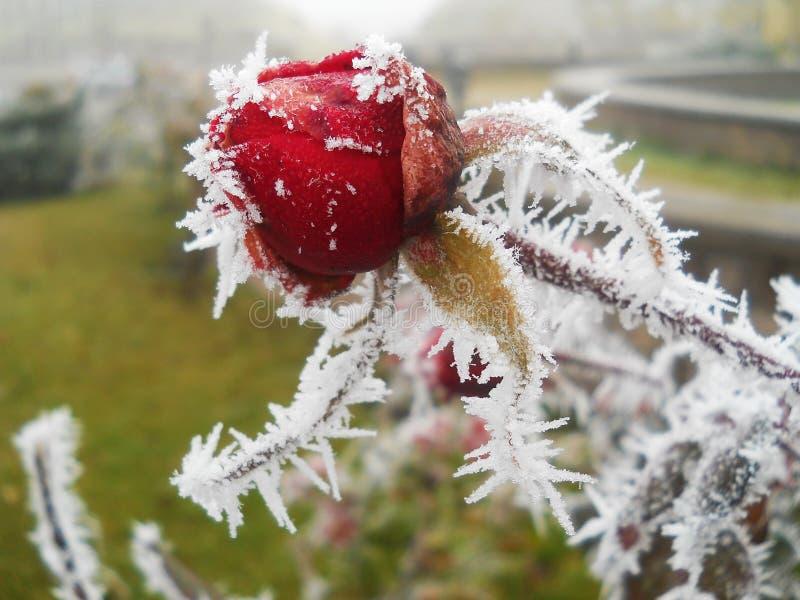 La rose de rouge a couvert le gel blanc images stock