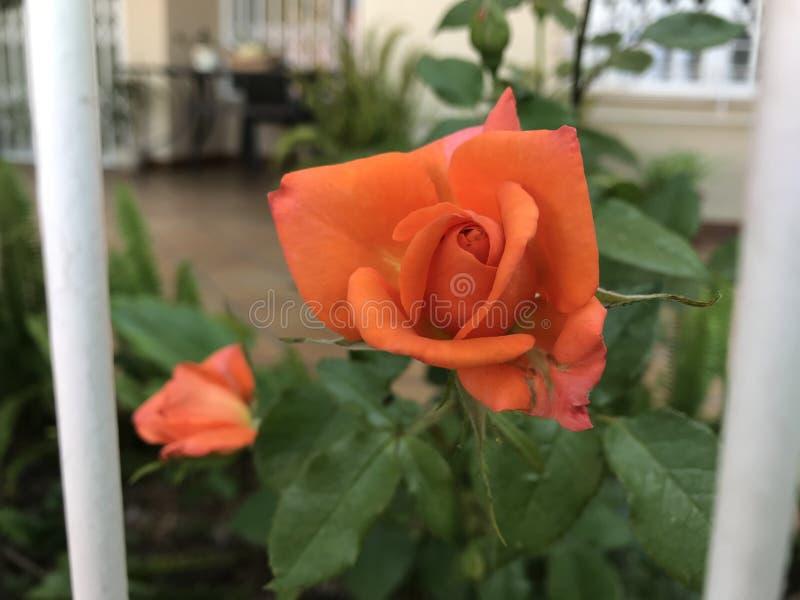 La rose orange images libres de droits