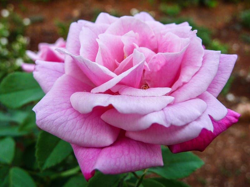 La Rose rosada imagen de archivo libre de regalías