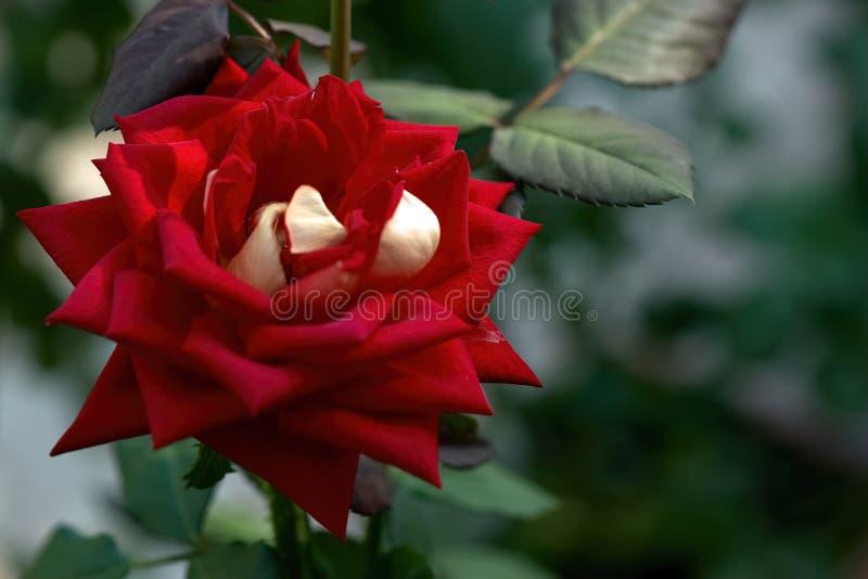 La rose variée simple de rouge a fleuri dans le jardin photos libres de droits