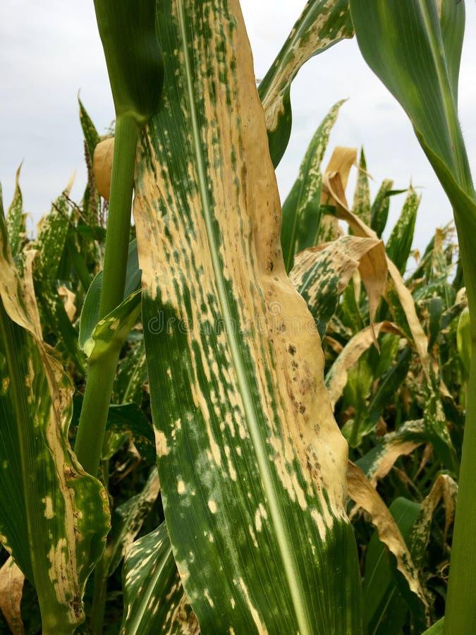 La rouille de feuille du nord de maïs du maïs et du x28 ; Helminthosporium ou Turcicum& x29 ; i photographie stock libre de droits