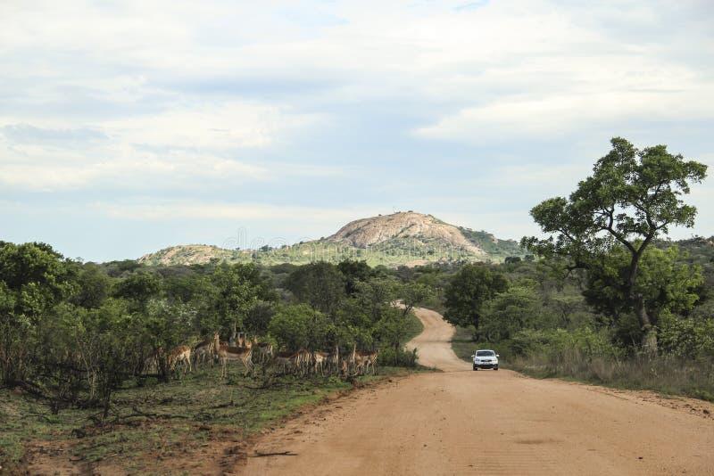 La route à Pretoriuskop avec l'impala et la voiture, parc national de Kruger, Afrique du Sud photographie stock libre de droits