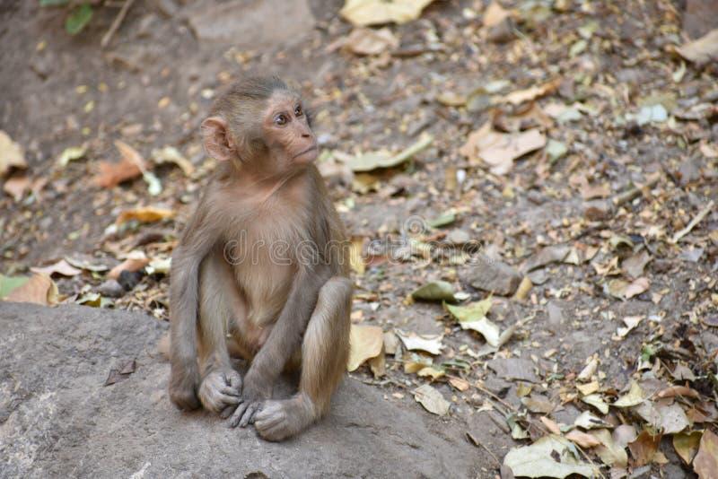 La rupture impressionnante du petit singe d'enfant qui se reposant sur une pierre et maintiennent occupé lui-même en faisant la p images libres de droits