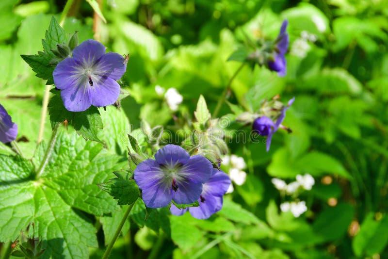 La Russia, Vladivostok, flora dell'isola di Shkot Lat del prato del geranio Pratense del geranio immagini stock libere da diritti