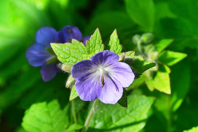 La Russia, Vladivostok, flora dell'isola di Shkot Lat del prato del geranio Pratense del geranio fotografia stock libera da diritti