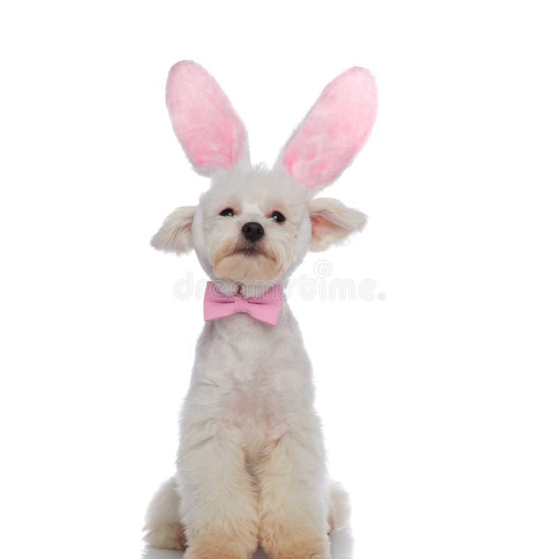 La séance chique de bichon est prête pour Pâques photos stock