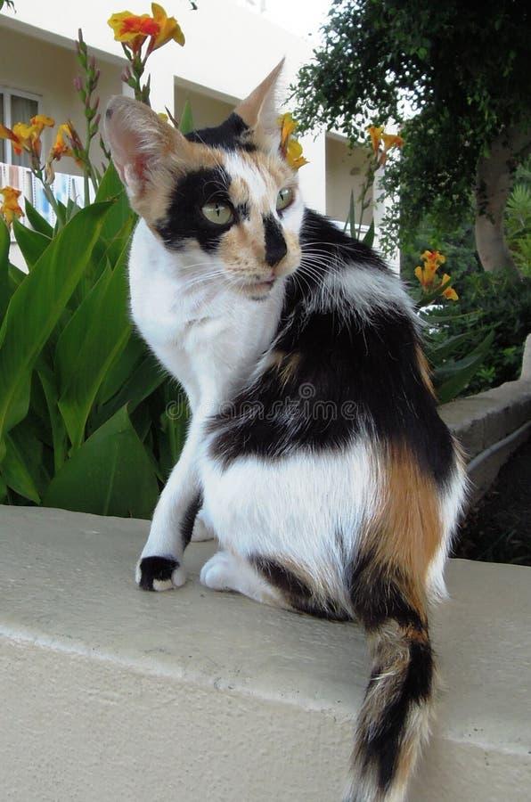 La séance de chat de calicot regarde quelque part images stock