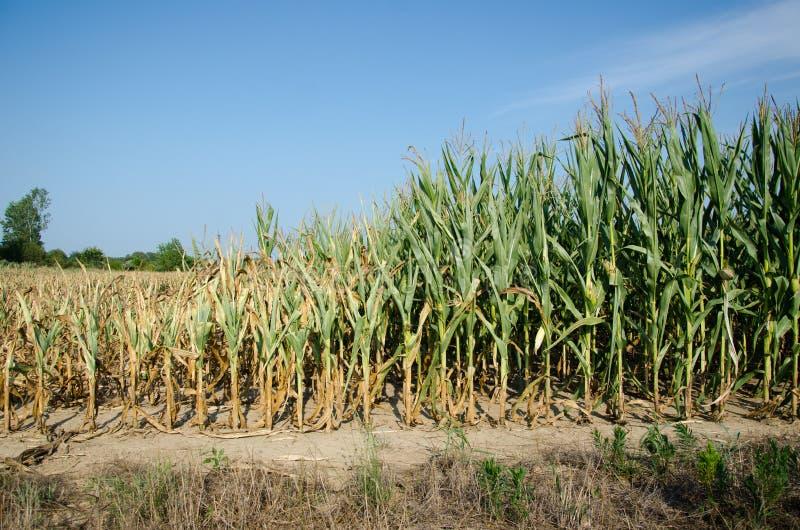 La sécheresse a endommagé le maïs images libres de droits