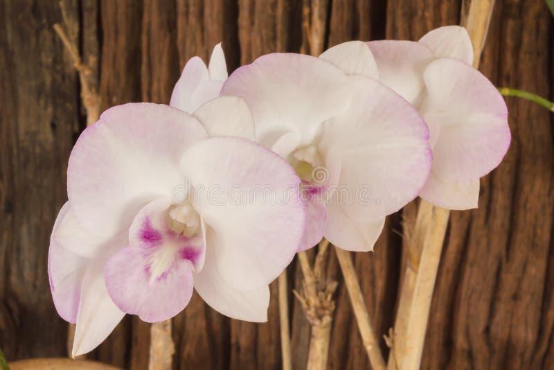 La sépia et l'antiquité colorent le ton du groupe de fleurs d'orchidée images stock