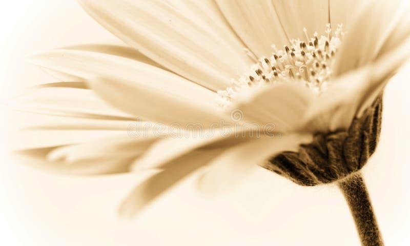 La sépia a modifié la tonalité l'image florale image libre de droits