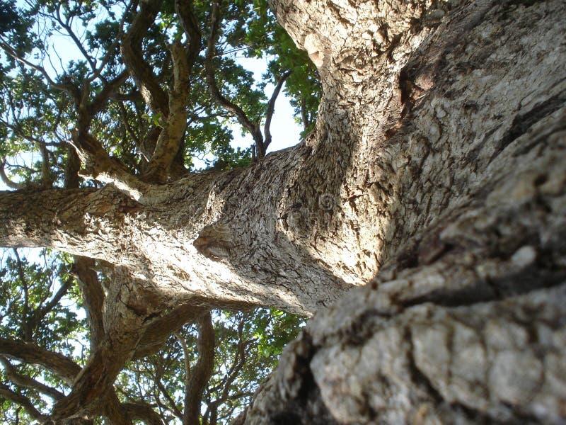 La sabiduría de un árbol viejo imagenes de archivo