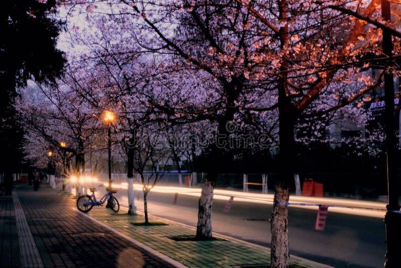 La saison de Sakura image libre de droits